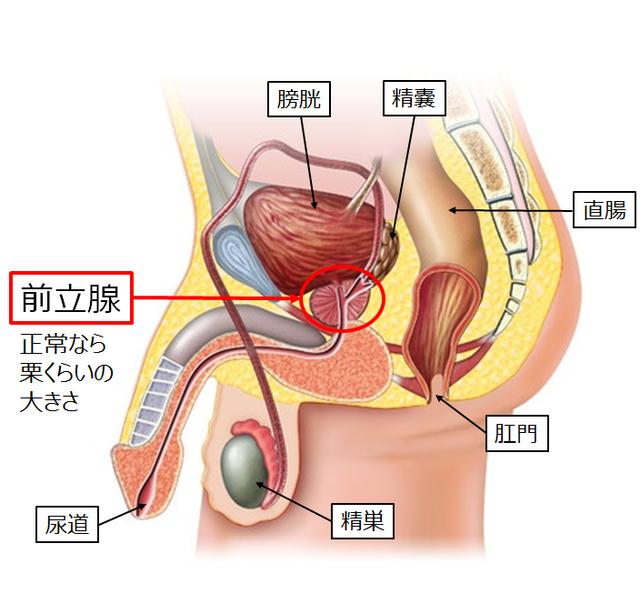 図:前立腺とその周辺の臓器や器官を示す図。前立腺の周辺には膀胱、精嚢、精巣、尿道がある。前立腺は正常なら栗くらいの大きさである。