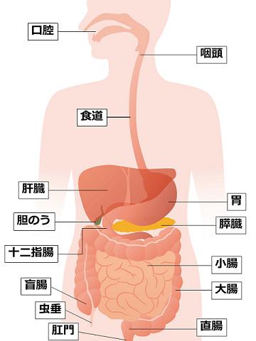 消化器の老化 | 健康長寿ネット